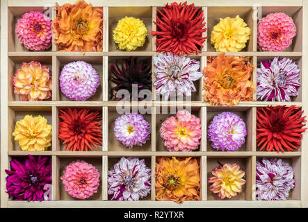 Dahlia flowers in a wooden tray - Stock Photo
