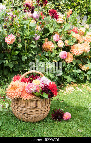 Wicker basket filled with cut dahlia flowers, in a garden in summer, Pas de Calais, France - Stock Photo