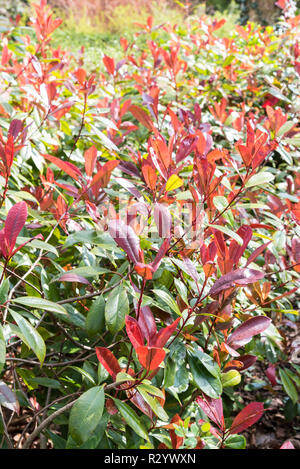 Photinia 'Red Robin' in a garden - Stock Photo