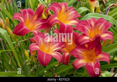 Hemerocalle 'Cherry Cheeks' in bloom in a garden - Stock Photo