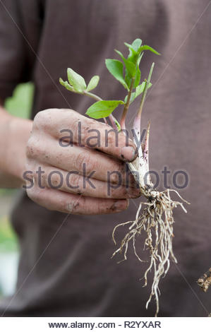 Skirret (Sium sisarum) seedling before planting - Stock Photo