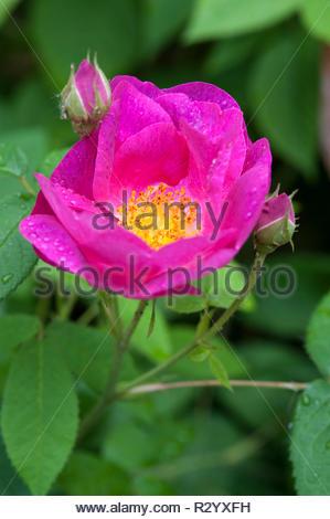 Gallic rose (Gallic Rose) - Stock Photo