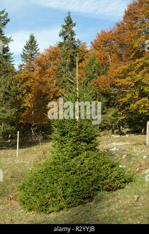 Norway spruce (Picea abies) grazed by cattle - Stock Photo