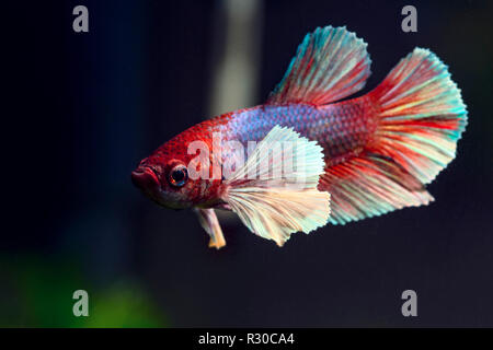 Very beautiful & detailed close-up pf a Dumbo Ear Betta fish - Stock Photo