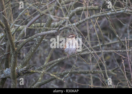 Redwing in a hedgerow - Stock Photo