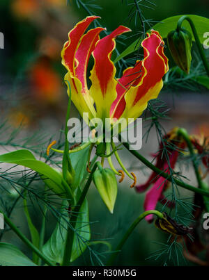 Isolated blooming Gloriosa Lily also known as a Flame Lily - Stock Photo