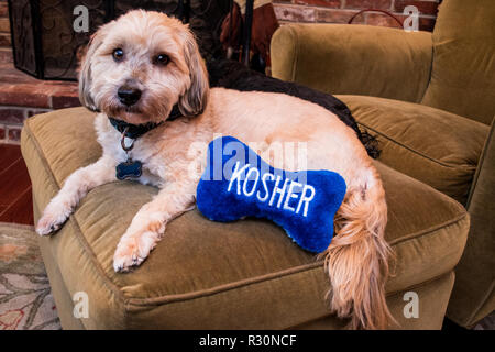 Jewish Havanese beige brindle Havanese puppy dog on chair relaxing with blue stuffed bone toy that says kosher - Stock Photo