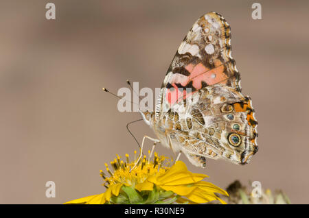 Painted Lady, Vanessa cardui, on Golden Crownbeard, Verbesina encelioides - Stock Photo