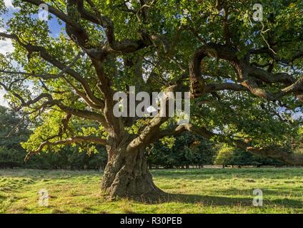 Centuries old English oak / pedunculate oak (Quercus robur) in late summer / autumn - Stock Photo