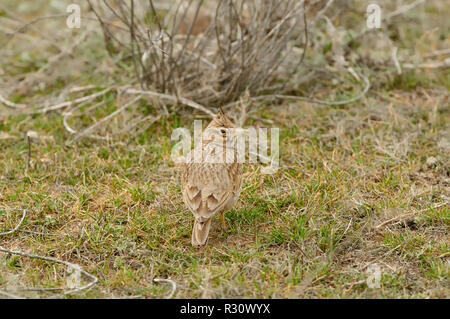 Crested lark (Galerida cristata) sits on the field in its natural habitat (almost invisible due to its protective coloration). - Stock Photo
