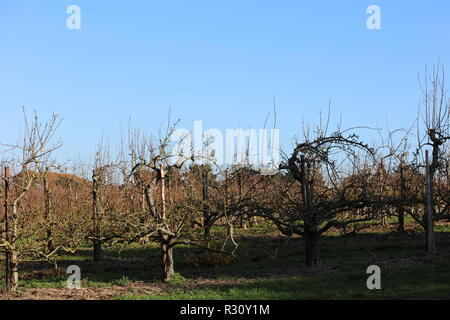 Orchard of different varieties of pear trees growing in rows separated with a wide path of grass, looking onto the countryside of Surrey. England, UK. - Stock Photo