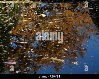 A small pond reflects the yellow leaves of a tree with other leaves floating on the surface on a beautiful mid-November autumn day. London, UK. - Stock Photo