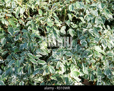 Hedera helix marginata is an evergreen garden plant with white margins, a climbing shrub against walls or ground cover for weed prevention. London, UK