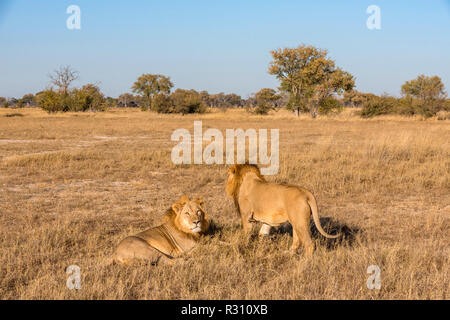 A large male lion seen in Zimbabwe's Hwange National Park. - Stock Photo