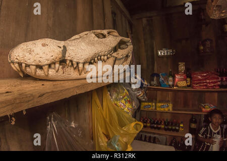 The skull of a huge black caiman (Melanosuchus niger) is on display at a small store in Amazonian Colombia. - Stock Photo