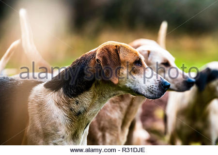 Ancrum, Jedburgh, Scottish Borders, UK. 21st November 2018. Foxhounds of the Duke of Buccleuch Hunt flushing foxes to guns amongst small pockets of woodland near Ancrum. Credit: Chris Strickland / Alamy Live News - Stock Photo