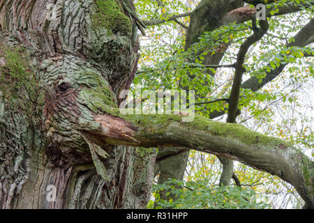 Elephant head, intergrown with an oak trunk (Quercus robur), Hesse, Germany - Stock Photo