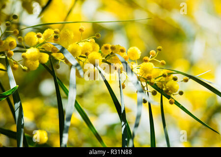 Blossoming of mimosa tree (Acacia pycnantha,  golden wattle) close up in spring, bright yellow flowers, coojong, golden wreath wattle, orange wattle, - Stock Photo