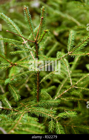 Green young Christmas tree growing in the forest - Stock Photo