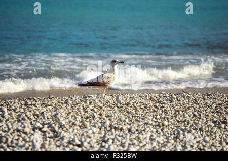 Bird walking on a Mediterranean pebble beach - Stock Photo