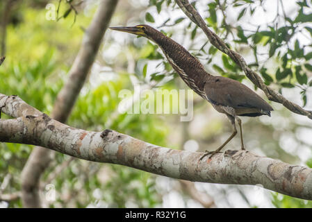 Rufescent tiger heron (Tigrisoma lineatum) from lowland jungle in Madre de Dios, Peru. - Stock Photo