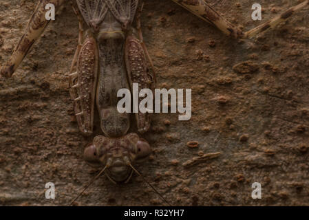 A neotropical bark mantis, possibly in the Liturgusa genus, is amazingly well camouflaged on tree bark in the Amazon rainforest. - Stock Photo