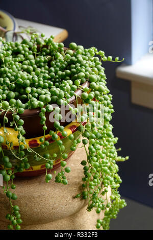 string of pearls, Senecio Rowleyanus Rosary Vine, Bead plant - Stock Photo