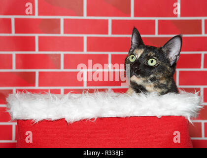Portrait of an adorable tortie torbie tabby kitten sitting in a white fur lined red basket, looking up to viewers left. Bright red brick background. F - Stock Photo