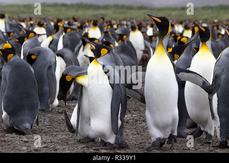 The king penguin (Aptenodytes patagonicus) is a large species of penguin - Antarctic. - Stock Photo