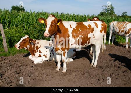 kuehe white brown - Stock Photo