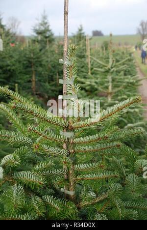 nursery nordmann fir nordmann fir christmas tree christmas conifer nordmanniana - Stock Photo