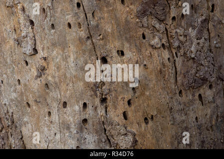 pine tree trunk eaten by bark beetles background - Stock Photo