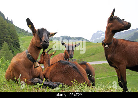 goats in the mountains - Stock Photo