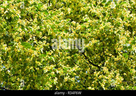 View of the lime tree branches during flowering on a sunny day. - Stock Photo