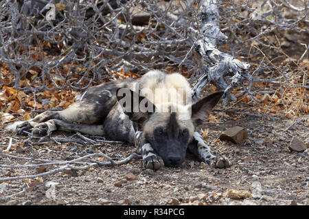 African wild dog (Lycaon pictus) lying on arid ground, in the shade, Kruger National Park, South Africa, Africa - Stock Photo