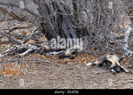 African wild dogs (Lycaon pictus), pack lying on arid ground, sleeping in the shade, Kruger National Park, South Africa, Africa - Stock Photo