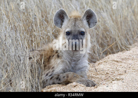 Spotted hyena or Laughing hyena (Crocuta crocuta), cub, lying on the edge of a dirt road, Kruger National Park, South Africa, Africa - Stock Photo