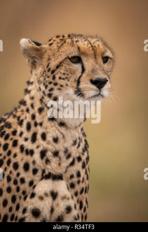 A female cheetah is sitting in the shade of a tree with her mouth open, looking straight at the camera. The shot is a close-up of her head and shoulde - Stock Photo