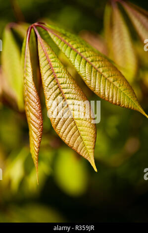 Wonderful golden light on three long delicate looking leaves of new growth in Spring of a horse chestnut tree using shallow focus. - Stock Photo