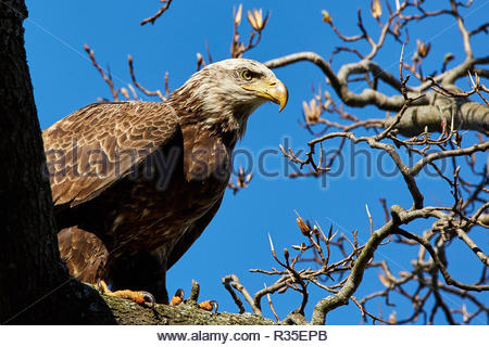 The Bald Eagle is an unforgettable animal. Its white head and tail, eight-foot wingspread, piercing eyes, massive hooked beak and powerful talons make - Stock Photo