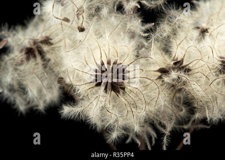The seeds of Traveller's-Joy, or Old Man's Beard, Clematis vitalba, photographed on a black background in a studio. Dorset England UK GB - Stock Photo