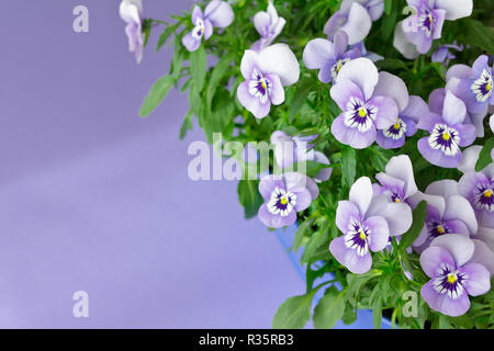 Pansy plants with lots of flowers in shades of lilac, violet and blue against a lilac colored background, copy or text space - Stock Photo