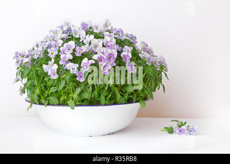 Pansy flowers in shades of lilac, violet and blue in a vintage wash basin or bowl on white background, copy or text space - Stock Photo