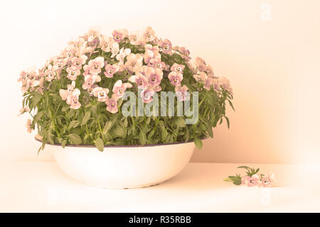 Pansy flowers in shades of lilac, violet and blue in a vintage wash basin or bowl on white background, vintage filter effect - Stock Photo