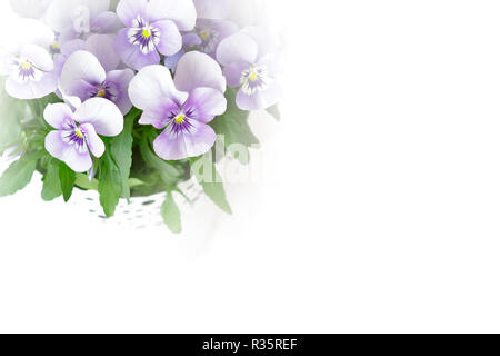 Pansy flowers in shades of lilac, pink and purple against white, nostalgic and romantic background template with copy space - Stock Photo