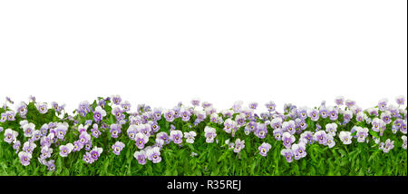 Border of pansy plants with flowers in shades of violet, lilac and blue in panorama format, isolated on white, background template - Stock Photo