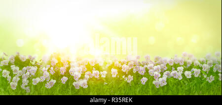 Border of pansy plants with flowers in shades of violet, lilac and blue on a sunny spring morning, panorama format, copy space - Stock Photo