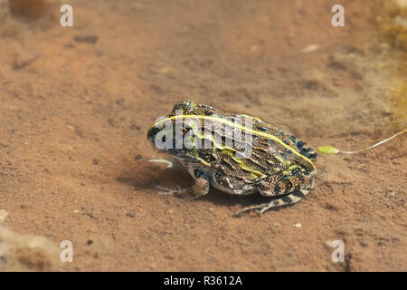 Young african big frog known Bullfrog (Pyxicephalus adspersus). In north Namibia is edible, but dangerous and poisonous. Africa wildlife - Stock Photo