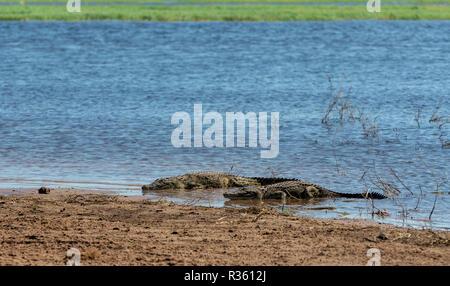 resting nile crocodile on river bank in Chobe river, Botswana safari wildlife - Stock Photo