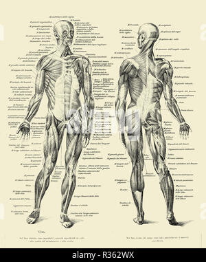 Vintage illustration of anatomy, human complete muscular structure front and back with Italian anatomical descriptions - Stock Photo